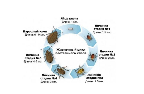 kak razmnozhayutsya klopy - Диванные клопы: как избавиться самостоятельно в домашних условиях, откуда берутся