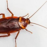 виды тараканов