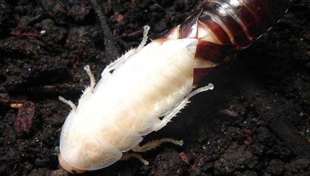 Белые тараканы в квартире: что это, фото к чему снятся, почему в ванной большие
