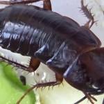 чёрные тараканы