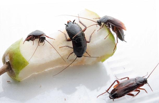 Фото тараканов в квартире: маленькие домашние рыжие черные, как выглядят личинки
