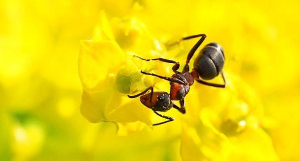 Как избавиться от муравьев в доме навсегда в домашних условиях: рыжие, черные