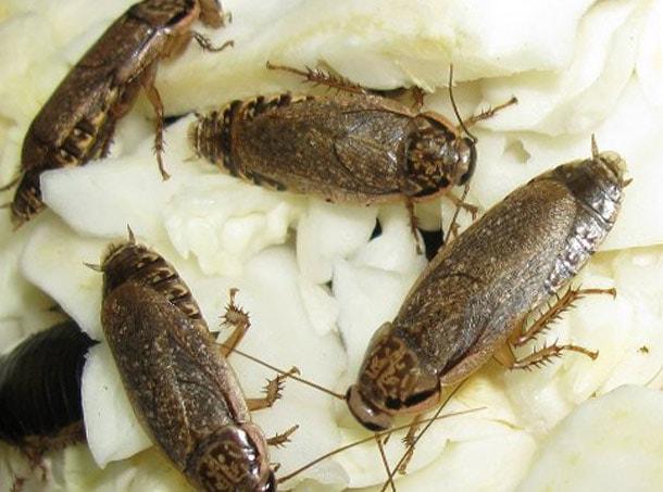 mramornyiy tarakan - Сколько живут тараканы домашние без головы, рыжие мадагаскарские без еды воды
