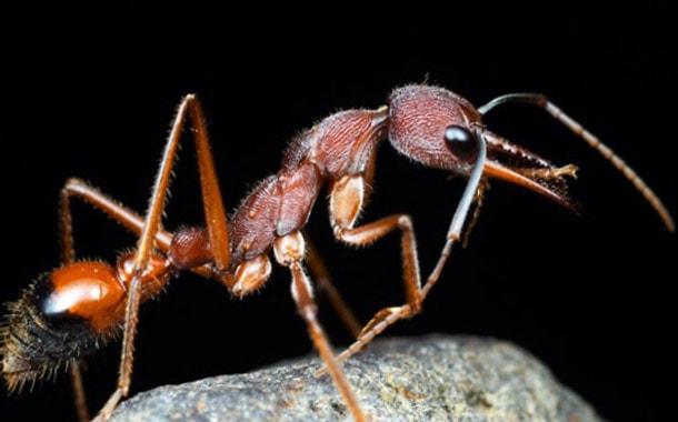 Огненные муравьи: фото кто такие, чем опасны жнецы убийцы, самые в мире