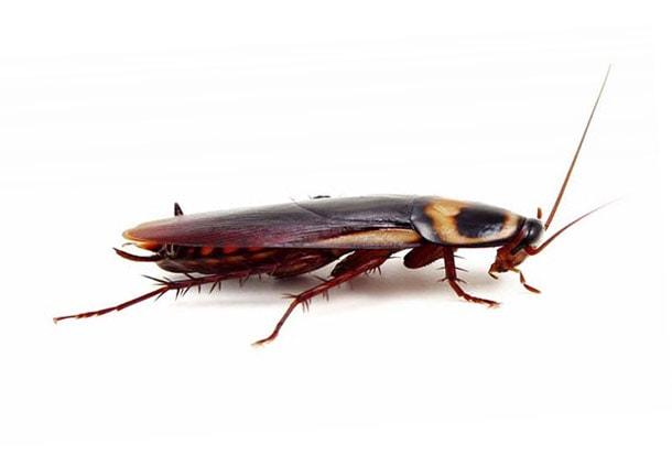 Чем опасны тараканы для человека в квартире: какие переносят болезни рыжие