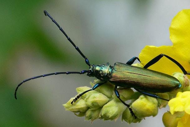 usach muskusnyiy - Сколько живут тараканы домашние без головы, рыжие мадагаскарские без еды воды