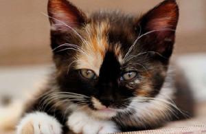 как избавиться от блох у котёнка