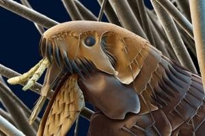блохи под микроскопом