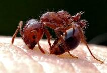 Кто такие огненные муравьи