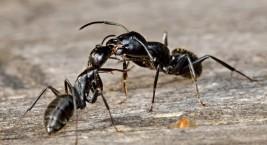 Как избавиться от черных муравьев