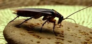 Чем опасен таракан для человека