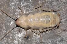 Что это за белые тараканы