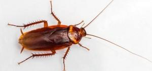 Разновидности тараканов в квартире