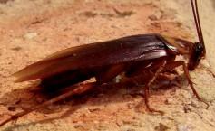 Как выглядит американский таракан