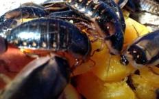Кусаются ли домашние тараканы
