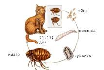 Как выглядят личинки и яйца блох